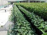blogs/agroindustrias-verdeflor-sac/attachments/18266-venta-de-plantones-de-palta-hass-portainjerto-zutano-ubicacion-panam-sur-km319-santiago-ica-img-20181117-wa0008.jpg
