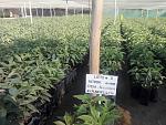 blogs/agroindustrias-verdeflor-sac/attachments/18268-venta-de-plantones-de-palta-hass-portainjerto-zutano-ubicacion-panam-sur-km319-santiago-ica-img-20181117-wa0006.jpg