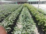 blogs/agroindustrias-verdeflor-sac/attachments/18269-venta-de-plantones-de-palta-hass-portainjerto-zutano-ubicacion-panam-sur-km319-santiago-ica-img-20181117-wa0007.jpg