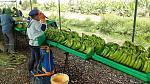 blogs/diana-velasco/attachments/18390-banano-organico-exportacion-img-20181130-wa0019.jpg