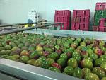 blogs/diana-velasco/attachments/18392-mango-kent-exportacion-img-20181130-wa0023.jpg