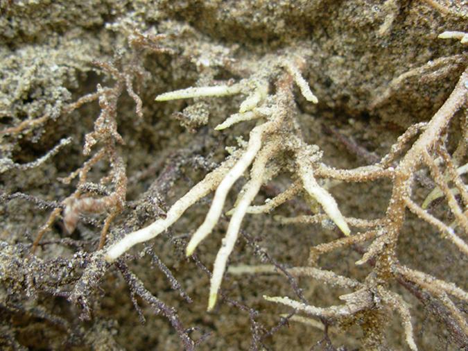 cuidado de raíces