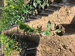 blogs/jimmydiaz/attachments/16294-plantas-citricos-mandarina-naranja-limon-limas-img_1871.jpg