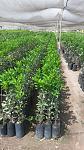 blogs/jimmydiaz/attachments/16296-plantas-citricos-mandarina-naranja-limon-limas-citricorecortado.jpg