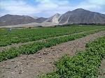 blogs/kscastaneda/attachments/3295-tomates-de-viru-huancaco-sra-cajamune-linea-biofertil-foto0190.jpg
