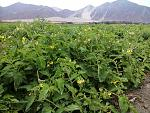 blogs/kscastaneda/attachments/3335-tomates-de-viru-huancaco-sra-cajamune-linea-biofertil-foto0355.jpg