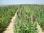 blogs/richard-delgado-astonitas/attachments/5143-vendo-semillas-de-quinua-var-salcedo-inia-pasanckalla-roja-y-altiplano-siembra-costa-var.-inia.jpg