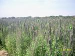blogs/richard-delgado-astonitas/attachments/5144-vendo-semillas-de-quinua-var-salcedo-inia-pasanckalla-roja-y-altiplano-siembra-costa-var.-altiplano-2.jpg