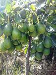 blogs/sank/attachments/20077-palta-hass-cultivo-a-gran-altitud-2500-3000-msnm-20190212_093819.jpg
