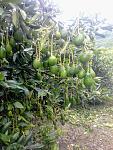 blogs/sank/attachments/20079-palta-hass-cultivo-a-gran-altitud-2500-3000-msnm-20190228_131522.jpg