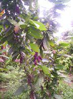 Reunimos a todos los usuarios que tengan algún interés en el negocio cacaotero. Sean productores, acopiadores, industriales, brokers, investigadores; todos son bienvenidos en este...